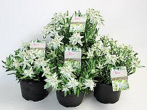 Alpen-Edelweiß - Leontopodium alpinum